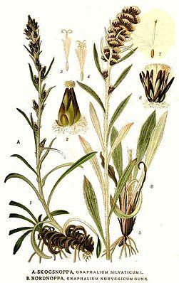 527 Gnaphalium norvegicum, G. silvaticum.jpg