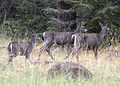 5283 black-tailed does and fawn swingle odfw (8122806675).jpg