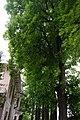 68-104-5027 Липа кримська.jpg