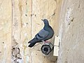 A Rock Dove in fort Amer.jpg