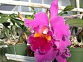 A and B Larsen orchids - Brassolaeliocattleya Lucky Strike Golden Ring DSCN4509.JPG
