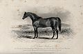 A coach stallion standing in a field. Etching by J. Scott af Wellcome V0021750.jpg