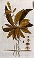 A plant (Terminalia angustifolia Jacq.) related to the India Wellcome V0042966.jpg