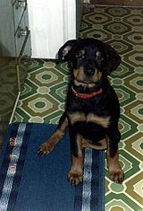 A rottweiler puppy.
