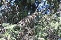 A spruce grouse in a spruce tree (628581dd-2614-40f6-a7eb-30519521af48).jpg