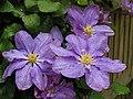 A suburban Garden Flower - geograph.org.uk - 8935.jpg