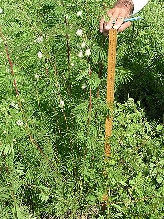 Desmanthus - Desmanthus bicornutus