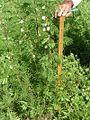 A tall Desmanthus bicornutus at Hughenden in western Queensland.jpg