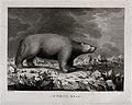 A white bear encountered by Captain Cook Wellcome V0044892.jpg