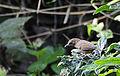 Abbotts Babbler (Malacocincla abbotti).jpg