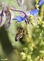 Abella i borralla - Abeja y borraja - Bee (4016329260).jpg