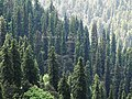 Abies pindrow India26.jpg