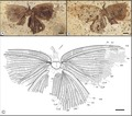 Abrigramma calophleba holotype.tiff
