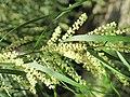 Acacia floribunda (Serres de la Madone) fleur.jpg