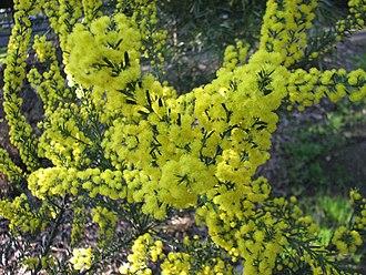 Acacia imbricata - Image: Acacia imbricata