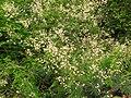 Acacia pennata-1-yelagiri-vellore-India.jpg