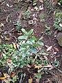 Acca sellowiana (O.Berg.) Burret (AM AK296270).jpg