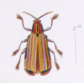 Acentroptera Lacordairei.png