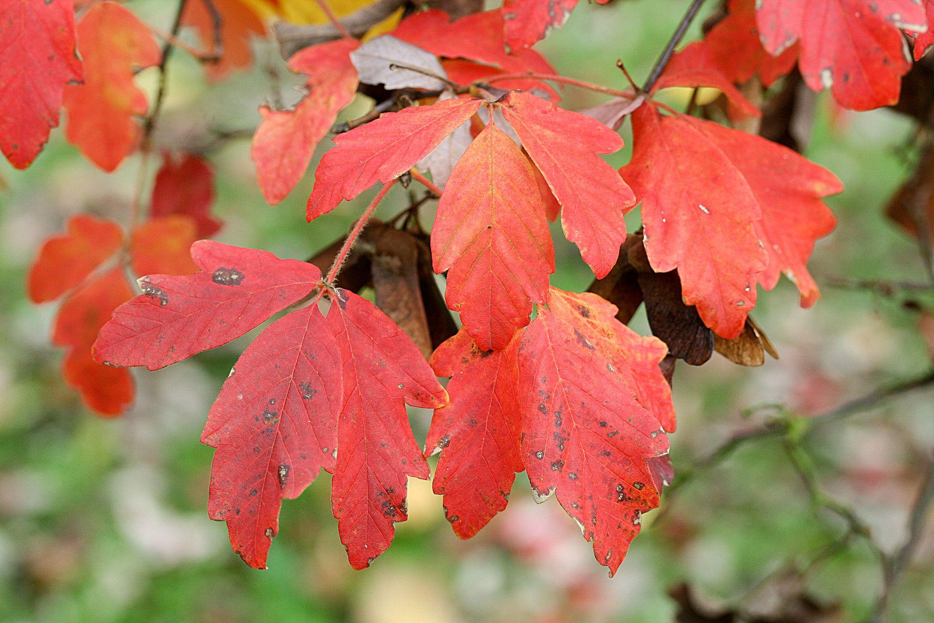 acer arbre rouge