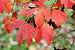 Acer griseum JPG01b.jpg
