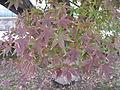Acer palmatum - Serres d'Auteuil 001.jpg