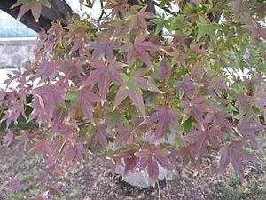 Acer palmatum in Serres d'Auteuil (identified ...