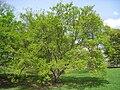 Acer tataricum, Arnold Arboretum - IMG 5925.jpg
