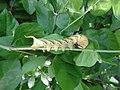 Acherontia styx (Thailand, Nonthaburi, Moo 8 Bangyai, Habitia Bangyai, 18.v.2015) (D. Kruger) L5 1.jpg