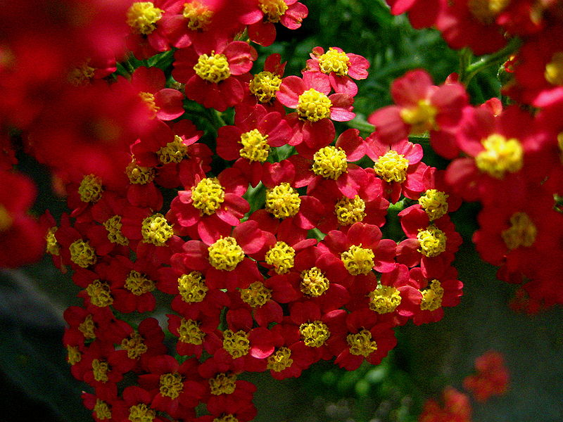 Yarrow flower, wiki
