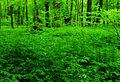 Aconitum veriegatum - Uroczysko Zielona.jpg