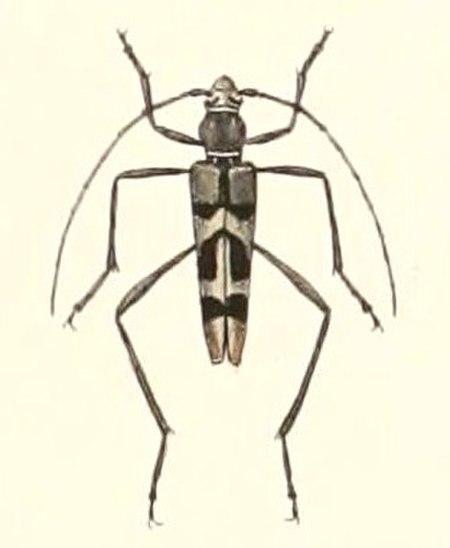 Acrocyrtidus
