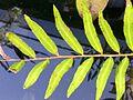 Acrostichum speciosum RBG Sydney.jpg