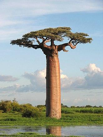Adansonia - Adansonia grandidieri, Madagascar