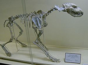 Adcrocuta - Skeleton