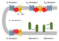 Adenosin Rezeptoren.PNG
