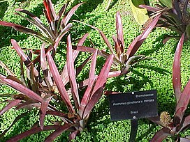 Aechmea pineliana minuta (2586198355).jpg