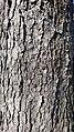 Aesculus Hippocastanum bark - 1.jpg