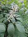 Aesculus parviflora kz15.jpg