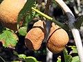 Aesculus pavia 1zz.jpg