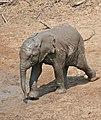 African Elephant (Loxodonta africana) calf running to the waterhole ... (32311675706).jpg