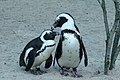 African Penguins Muenster.JPG