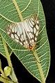 Agalope pica (26022211286).jpg