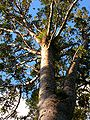 Agathis australis Waipoua Forest 3.jpg