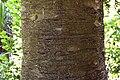 Agathis australis in Christchurch Botanic Gardens 05.jpg