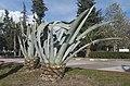 Agave americana - Centuryplant.jpg