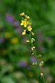 Agrimonia eupatoria (8252166014).jpg