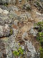 Aira caryophyllea caryophyllea L. (AM AK292857).jpg