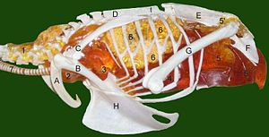 Air sacs -  The uncinate processes are the small white spurs about halfway along the ribs. The rest of this diagram shows the air sacs and other parts of a bird's respiratory system:1 cervical air sac, 2 clavicular air sac, 3 cranial thoracal air sac, 4 caudal thoracal air sac, 5 abdominal air sac (5' diverticulus into pelvic girdle), 6 lung, 7 trachea