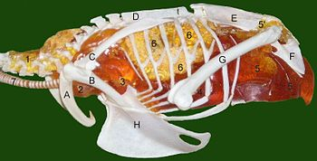 Air always flows from right (posterior) to left (anterior) through a bird's lungs during both inhalation and exhalation. Key to a Common Kestrel (Falco tinnunculus)'s circulatory lung system: 1 cervical air sac, 2 clavicular air sac, 3 cranial thoracal air sac, 4 caudal thoracal air sac, 5 abdominal air sac (5' diverticulus into pelvic girdle), 6 lung, 7 trachea
