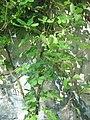 Akebia quinata001.jpg